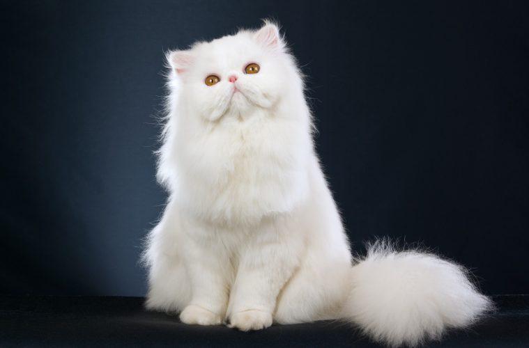 Expensive Cat Breeds Destination Luxury